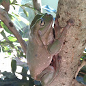 Green Tree Frog, Dumpy Tree Frog, White's Tree Frog