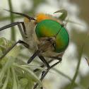 Flower feeding horse fly