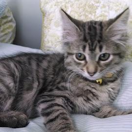 CC by Kathy Redlin - Animals - Cats Kittens ( kitten, tabby cat, sweet, blue, bed,  )