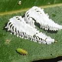 Spotted gum lerp (lerp#2)