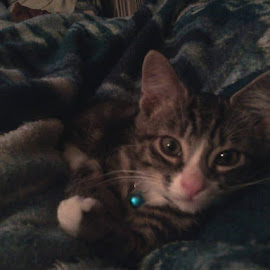 Jinx lounging in my lap by Michelle Bonin - Animals - Cats Kittens