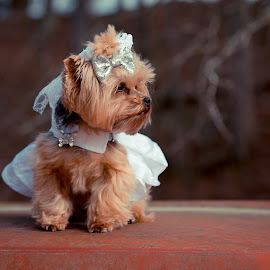here comes the bride by Jody Johnson - Animals - Dogs Portraits ( yorkie, photorad, puppy, bride, dog bone collar )