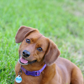 Have Your Attention by Thomas Pound - Animals - Dogs Portraits ( dogs, dachshund, dog portrait, dorgi )