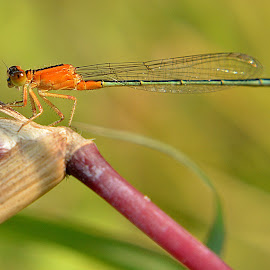 Damsel...3 by Sachin Jain - Novices Only Macro ( pashan lake, damselfly, insects, pune, odonata )