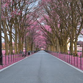 Pink Mall Promenade by Nicolas Raymond - City,  Street & Park  City Parks ( wood, wide-angle, vibrant, travel, capital, city, colour, lamps, washington, colourful, sky, passage, foliage, pink, walkway, surreal, branches, pavement, dc, orange, promenade, grass, colors, national, paved, tourism, united states, somadjinn, colours, passageway, touristic, dawn, trees, scene, early, america, colorful, vivid, corridor, city park, landscape, usa, fantasy, nicolas raymond, american, path, grey, national mall, park, hdr, district of columbia, ethereal, scenic, gray, morning, woods, urban, magenta, cyan, color, blue, wide angle, vibrance, background, violet, washington dc, brown, scenery, mall,  )