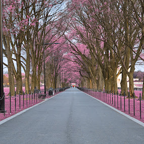 Pink Mall Promenade by Nicolas Raymond - City,  Street & Park  City Parks ( wood, wide-angle, vibrant, travel, capital, city, colour, lamps, washington, colourful, sky, passage, foliage, pink, walkway, surreal, branches, pavement, dc, orange, promenade, grass, colors, national, paved, tourism, united states, somadjinn, colours, passageway, touristic, dawn, trees, scene, early, america, colorful, vivid, corridor, city park, landscape, usa, fantasy, nicolas raymond, american, path, grey, national mall, park, hdr, district of columbia, ethereal, scenic, gray, morning, woods, urban, magenta, cyan, color, blue, wide angle, vibrance, background, violet, washington dc, brown, scenery, mall, , mood factory, happiness, January, moods, emotions, inspiration )
