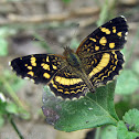 Pale-banded Crescent Butterfly
