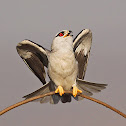 Black - winged Kite