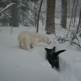 by Deanna Clark - Animals - Dogs Playing