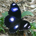 Varied Eggfly (male)