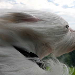 by Jeannette Thalmann-Bendeth - Animals - Dogs Portraits ( bailey, rare breed, dog, coton de tulear )
