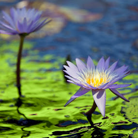 Blue Lily  by John CHIMON - Flowers Flower Gardens ( water, watereffects, purple, botanicgarden, lilies, green, beautiful, waterlilies, nice, gardens, picture, clear, modern, waterlily, nature, lily, blue, contemporary, flowers, flower )