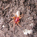 Woodlouse spider