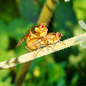 Acalyptrate flies