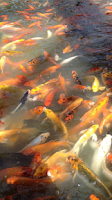 Screenshot of Koi Fish Wallpapers HD