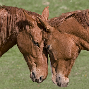 Love by Allan Wallberg - Animals Horses ( horse portrait, horses, beautiful, horse, rural, domestic animal, country, love, sisters, friends, outdoors, friendship, brown, equally, brothers, animal,  )