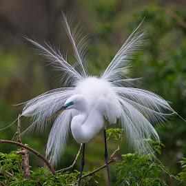 Snowy Egret on the nest by Mike O'Connor - Animals Birds ( animals, florida, orlando, gatorland, birds,  )