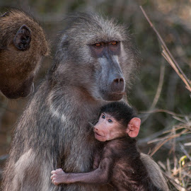 Baboon mommy with baby by Alexander Mavrakis - Animals Other Mammals ( kruger national park, sweet, baboon, family, south africa, baby, cuddle )