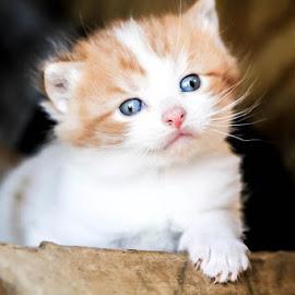 Outside kitten by Dezaray Zielinski - Animals - Cats Kittens ( kitten, gorgeous, blue eyes )