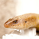 Sand Lizard [skink,bubuli]