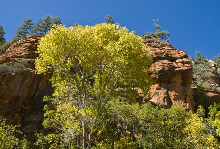 DSC_0191 yellow tree  fall westfork park sedona az en az.jpg