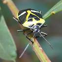 Pentatomid bug