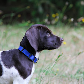 by Shannon MacLeod - Animals - Dogs Portraits ( puppies, dogs, german shorthaired pointer, gps, puppy, man's best friend, dog )