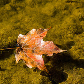 Floating Leaf by Sheila Holdren - Nature Up Close Leaves & Grasses ( water, nature, fall, floating, leaf )