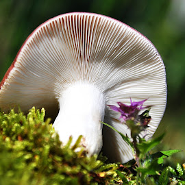 Russula by Eugenija Seinauskiene - Nature Up Close Mushrooms & Fungi ( russula, mushroom, nature, autumn, moss )