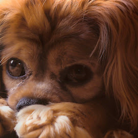Shy pup by Laura Prieto - Animals - Dogs Portraits ( sweet puppy, shy puppy, dog posing, dog portrait, dog, king charles spaniel )