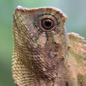 Javan Humphead Lizard