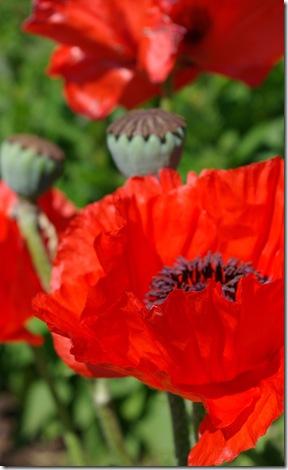 Poppy 5 24 08