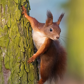 Squirrel by Miroslav Socha - Animals Other