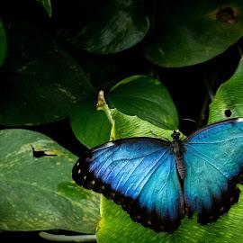 Blue by Dale Versteegen - Novices Only Wildlife ( butterfly, novice, kit lens, canon t3i )