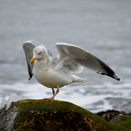 Seagull in Winter by Rob Kovacs - Novices Only Wildlife (  )