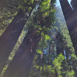 redwoods by Michael Lantz - Novices Only Objects & Still Life ( tranquil, peaceful, nature, trees, forest )