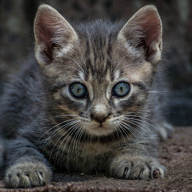 by Daniel Poptelecan - Animals - Cats Kittens