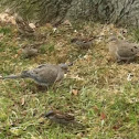 House sparrow/Mourning dove
