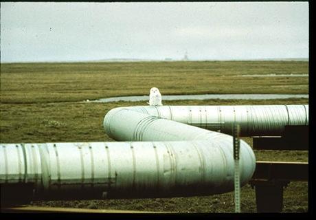 20-Owl on pipeline