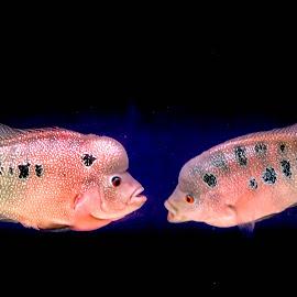 fish by Yudi Wahyono - Animals Fish ( l o u h a n   f i s h )