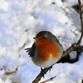Winter Robin by Sue Lascelles - Novices Only Wildlife ( bird, robin, winter, cold, snow, wildlife )