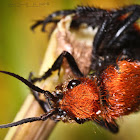Red velvet ant or