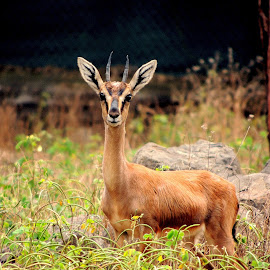 Deer by Santhosh Aryan - Animals Other Mammals ( single, wildlife, cute, photography, deer,  )
