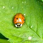 Asian Ladybug?