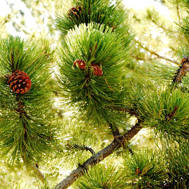 Peaceful Ponderosa by Marijo Phelps - Nature Up Close Trees & Bushes ( peaceful ponderosa, pine cones, pine needles, sunlit pine needles, god's greens,  )