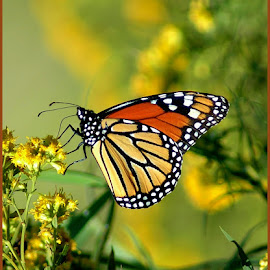 Monarch Butterfly by Sue Baxter Fitz - Animals Insects & Spiders