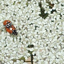 Convergent Line Lady Beetles (mating)