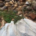 Thread legged katydid