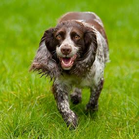 by James Blyth Currie - Animals - Dogs Running ( cockerspaniel, park, london, hyde park, dog, lulu, running )