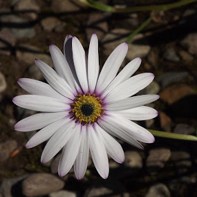 petals by Alan Reardon - Flowers Single Flower ( menstrie, reardon, dunvagan, daisy, castle, flower )
